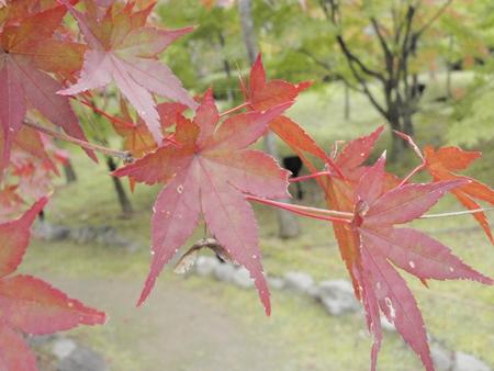 京都もみじアップ