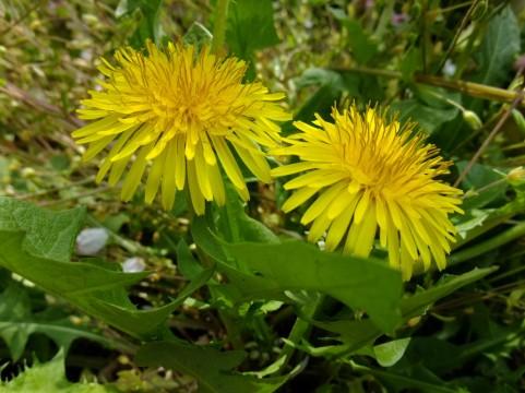 たんぽぽ 花