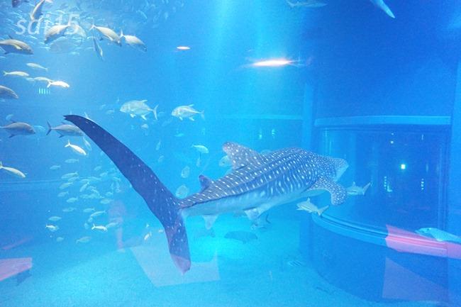 ジンベイサメ 海遊館ヨガxベルメゾン (17)
