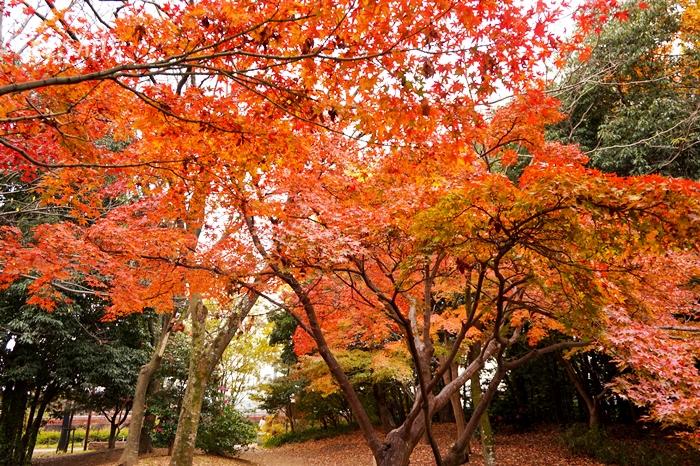 梅の小路公園・紅葉 (10)