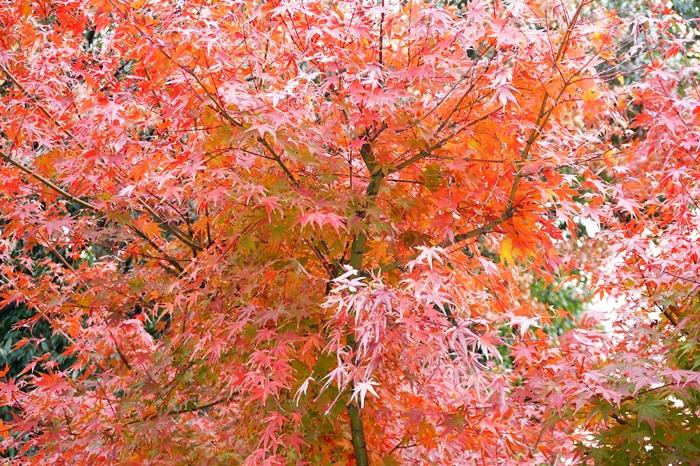 紅葉がきれいです。